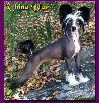 wickhaven girls Pets and show dogs owned by belews chinese cresteds belews chinese crested girls sooner ch wickhaven he's got game som x.